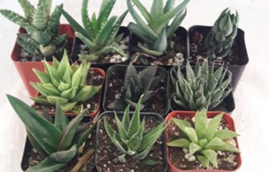 "Five varieties of 2"" Aloe plants to be designed in any combination for a great succulent arrangement."