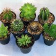 An inexpensive set of 8 different cactus and other succulents in 2 inch pots.