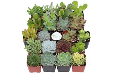 Collection of 20 different succulent plants in 2 inch pots