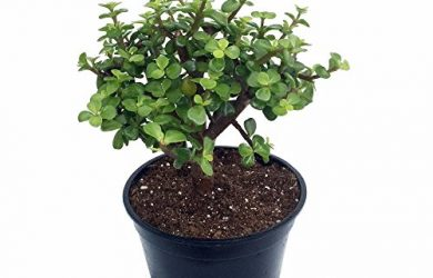 This potted Dwarf Jade Plant, Portulacaria afra is a great succulent houseplant and makes a wonderful bonsai tree.