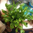 A potted true Christmas Cactus for sale online.