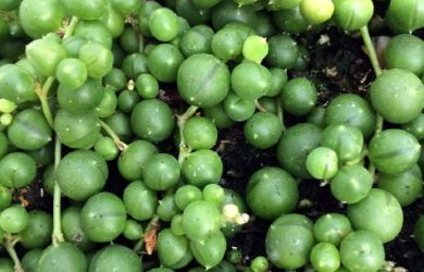 "Buy online String of Pearls, Senecio Rowleyanus, easy to grow in a 4"" Pot"