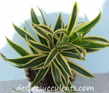 The Corn plant, dracaena fragrans helps clean polluted indoor air.