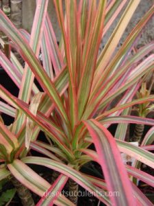 The red-edged Dracaena Marginata is one of 6 succulents that clean indoor air pollution.