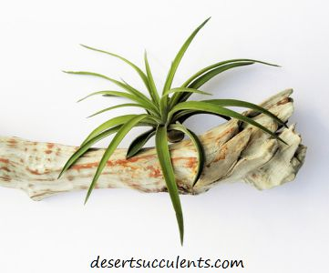 Air Plants are great succulent houseplants.