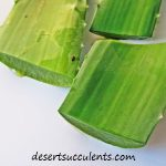 Aloe vera for skin care and other skin conditions.