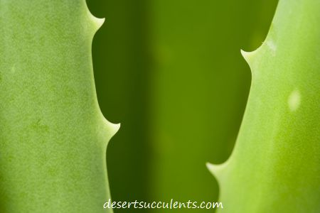 Aloe Vera Skin Permeation Enhancement Effects