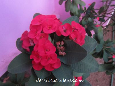 Bright red flowers bloom on the Crown of Thorns, Euphorbia