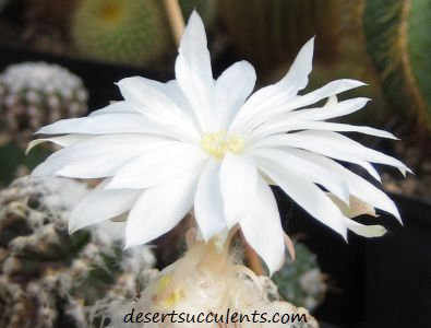 The Disc Jade Discocactus produces beautiful white succulent flowers.