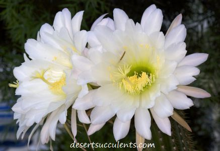 Purple and white succulent flowers desert succulents the golden torch or white torch echinopsis spachiana has white succulent flowers mightylinksfo