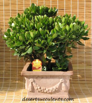 Jade Plant Crassula ovata is a great inside succulent that is easy to grow and care for.