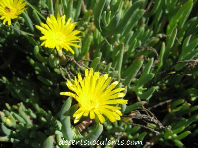 The Rocky Point Ice Plant Maleflora Luteal has dainty yellow succulent flowers.