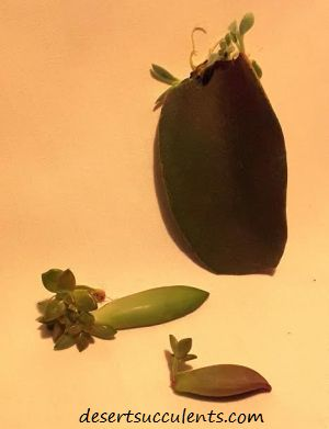 Succulent leaves propagation is simple. Succulent leaf propagation only takes a couple weeks.