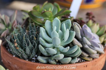 What is a succulent plant is a common question. The actual definition of a succulent is not easy.