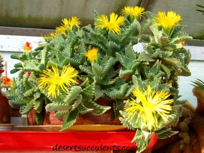 Tigers Jaw Faucaria tigrina are great indoor succulent houseplants.