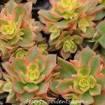 Try Aeonium Kiwi, Aeonium Haworthii in a terrarium or garden dish.