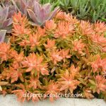 Coppertone, Sedum Nussbaumerianum plant description and how to care for.