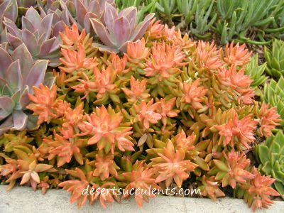 Coppertone, Sedum Nussbaumerianum plant description and how to care for.
