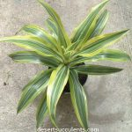 'Corn Plant', Dracaena fragrans is a beautiful succulent that cleans indoor air.