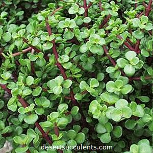 Dwarf Jade Plant, Portulacaria Afra can be used in terrariums and garden dishes.