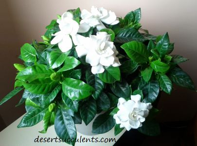 Gardenias are one of the plants that help you sleep better.