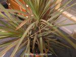 Red-edged Dracaena, Dracaena marginata details and growing tips.