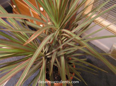Red-edged Dracaena, Dracaena marginata details and growing tips.