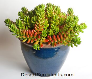 The top office plants are succulents that are colorful and easy to care for.