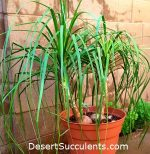 Ponytail Palm, Beaucarnea recurvata, or Elephant's Foot Palm is a perfect plant for offices or as a houseplant.