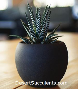 Zebra Cactus, Haworthia fasciata are a great office plant. This succulent looks attractive and is easy to care for.