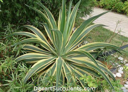 Dwarf Century Plant Agave Desmettiana Variegata Details