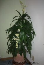 'Janet Craig', Dracaena fragrans clear indoor toxic gases from your home or office.