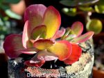 The Kalanchoe 'Fantastic', Kalanchoe luciae, is a cute succulent plant that will dress up any office or home.