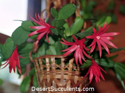 The Hatiora gaertneri Easter Cactus formerly Rhipsalidopsis gaertnerii is a beautiful succulent that flowers in the spring.