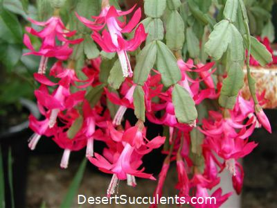 Christmas Cactus, Schlumbergera bridgesii – Details, Growing Tips