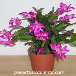 The Thanksgiving Cactus, Schlumbergera truncata is often mislabeled as the Christmas Cactus.