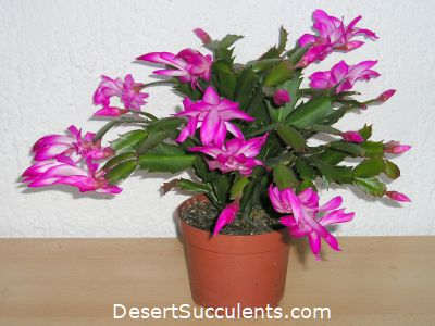 Thanksgiving Cactus, Schlumbergera truncata – Details, Growing Tips