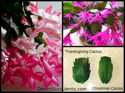 Image showing the difference between Thanksgiving Cactus and Christmas Cactus Leaves Stems