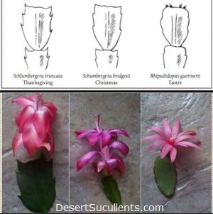 Difference between Thanksgiving Cactus, Christmas Cactus, and Easter Cactus Leaves or Stems