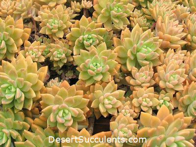 A great choice for outdoor succulent designing is the Graptosedum 'California Sunsets'.