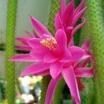 """Rare Aporocactus flagelliformis Rat Tail Cactus 4"""" Pot"""