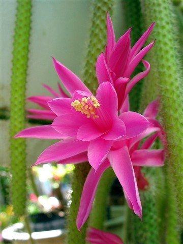 Rat Tail Cactus 4″ Hanging Basket – Rare Aporocactus flagelliformis