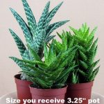 Enjoy a variety of three different Aloe succulent plants in 3 inch pots