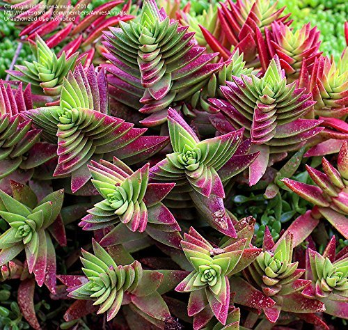 "Red Pagoda or Shark's Tooth, Crassula Capitella, 2"" Succulent Plant"