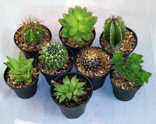 8 Cactus and Succulent Plants Collection –  2″ pots