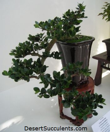 The Cascade Bonsai Style - called Kengai is popular with succulents.