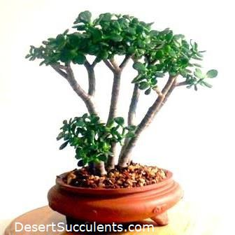 A Jade Bonsai can be created with the Dwarf Jade Plant also called Elephant Bush and Portulacaria afra.