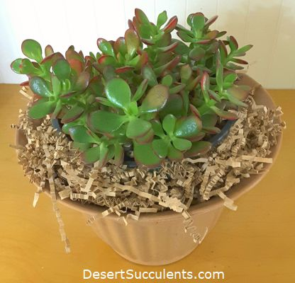 Jade Plant, Crassula ovata – Details, Growing Tips