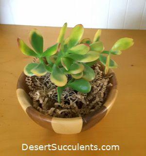 The leaves may turn yellow on a Jade Plant, Crassula ovata if it has too much direct sun.