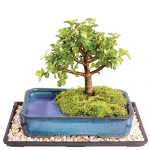 This Dwarf Jade Bonsai plant is perfect for beginners and comes in a bonsai pot with a matching tray.